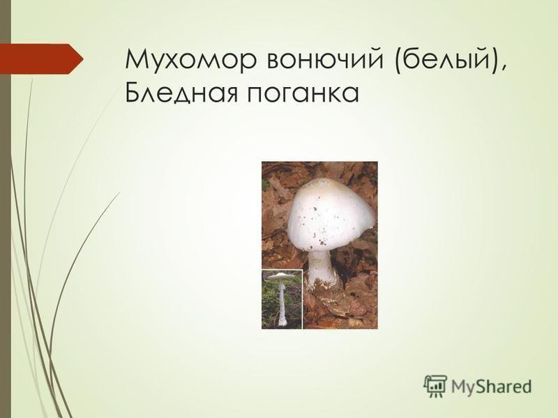 Мухомор вонючий (белый), Бледная поганка