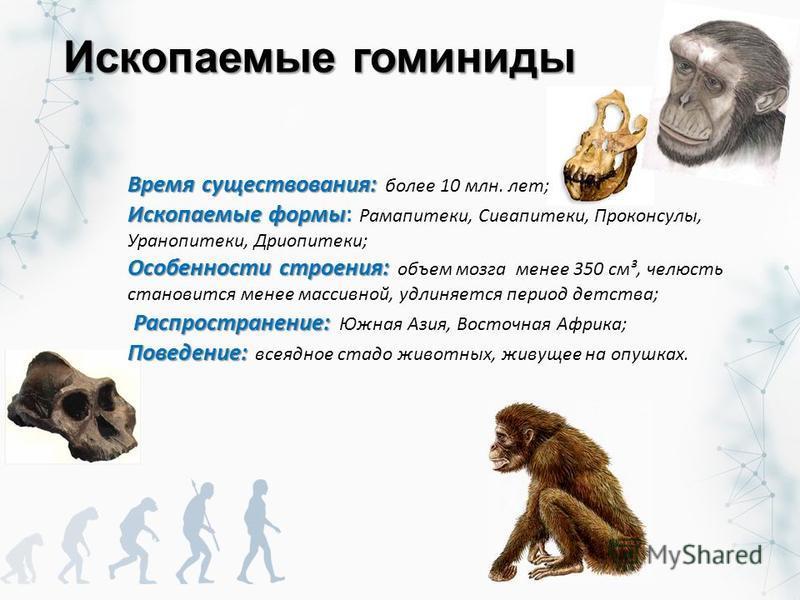 Ископаемые гоминиды Время существования: Время существования: более 10 млн. лет; Ископаемые формы Ископаемые формы: Рамапитеки, Сивапитеки, Проконсулы, Уранопитеки, Дриопитеки; Особенности строения: Особенности строения: объем мозга менее 350 см³, че