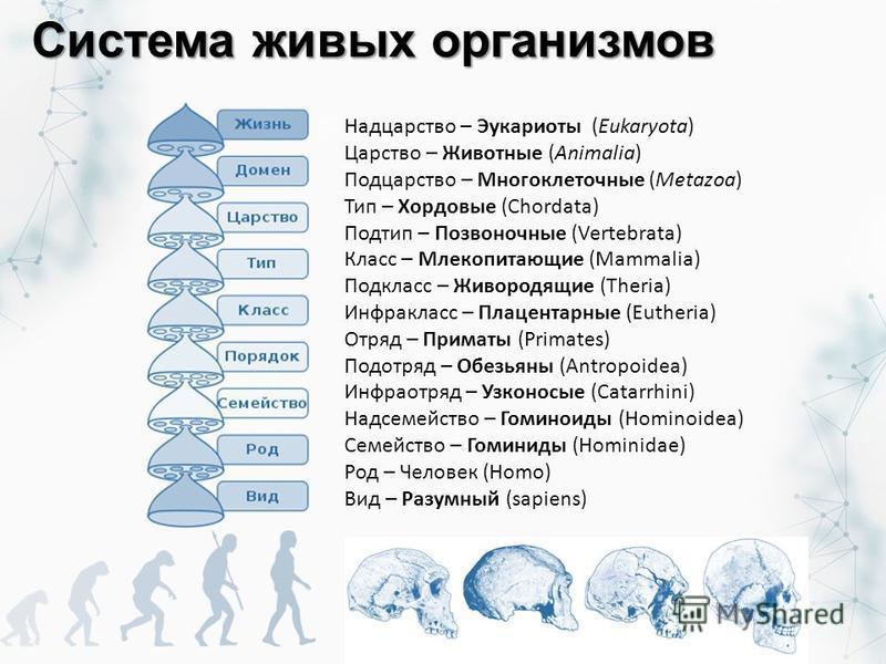 Система живых организмов Надцарство – Эукариоты (Eukaryota) Царство – Животные (Animalia) Подцарство – Многоклеточные (Metazoa) Тип – Хордовые (Chordata) Подтип – Позвоночные (Vertebrata) Класс – Млекопитающие (Mammalia) Подкласс – Живородящие (Theri