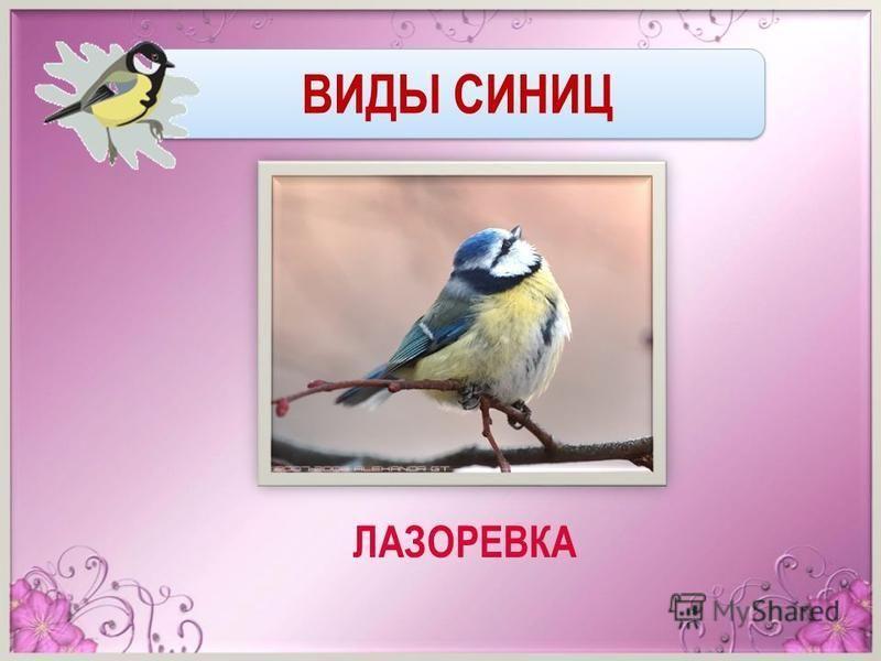 ВИДЫ СИНИЦ ЛАЗОРЕВКА