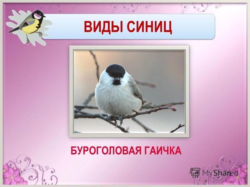 ВИДЫ СИНИЦ БУРОГОЛОВАЯ ГАИЧКА