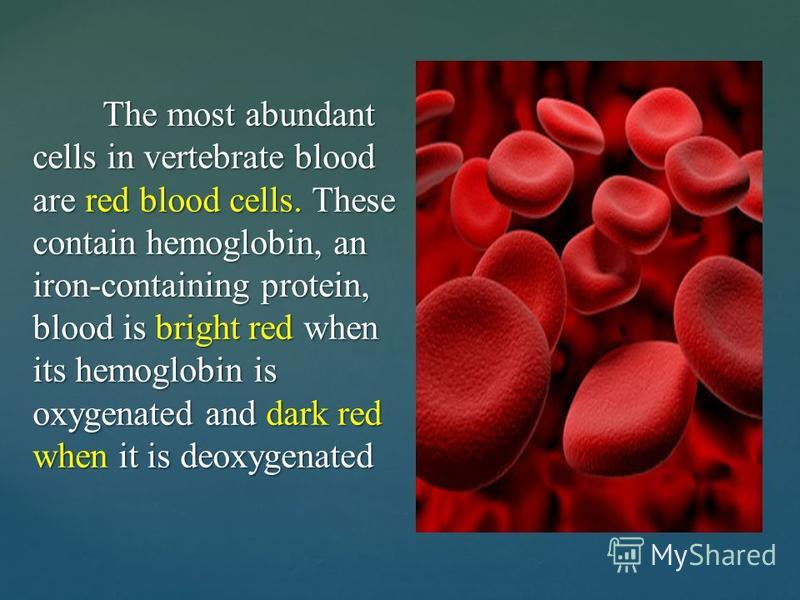 The most abundant cells in vertebrate blood are red blood cells. These contain hemoglobin, an iron-containing protein, blood is bright red when its hemoglobin is oxygenated and dark red when it is deoxygenated The most abundant cells in vertebrate bl