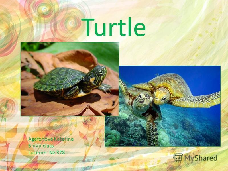 Turtle Agafonova Katerina 6 «V» class Luceum 378
