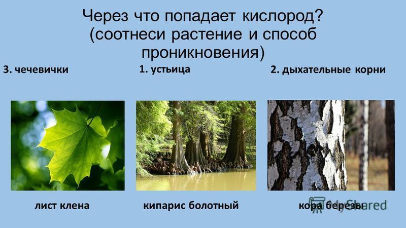 Через что попадает кислород? (соотнеси растение и способ проникновения) 1. устьица 2. дыхательные корни 3. чечевички лист клена кипарис болотный кора березы
