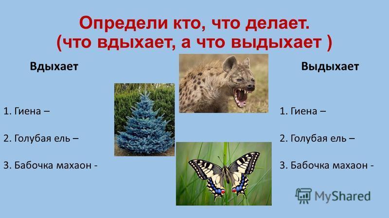 Определи кто, что делает. (что вдыхает, а что выдыхает ) Вдыхает Выдыхает 1. Гиена – 2. Голубая ель – 3. Бабочка махаон - 1. Гиена – 2. Голубая ель – 3. Бабочка махаон -
