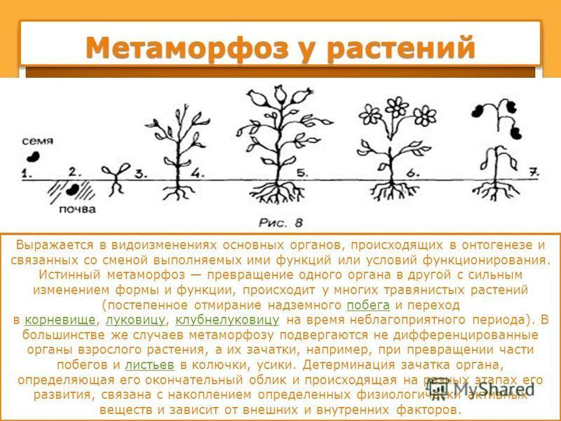 Метаморфоз у растений Выражается в видоизменениях основных органов, происходящих в онтогенезе и связанных со сменой выполняемых ими функций или условий функционирования. Истинный метаморфоз превращение одного органа в другой с сильным изменением форм