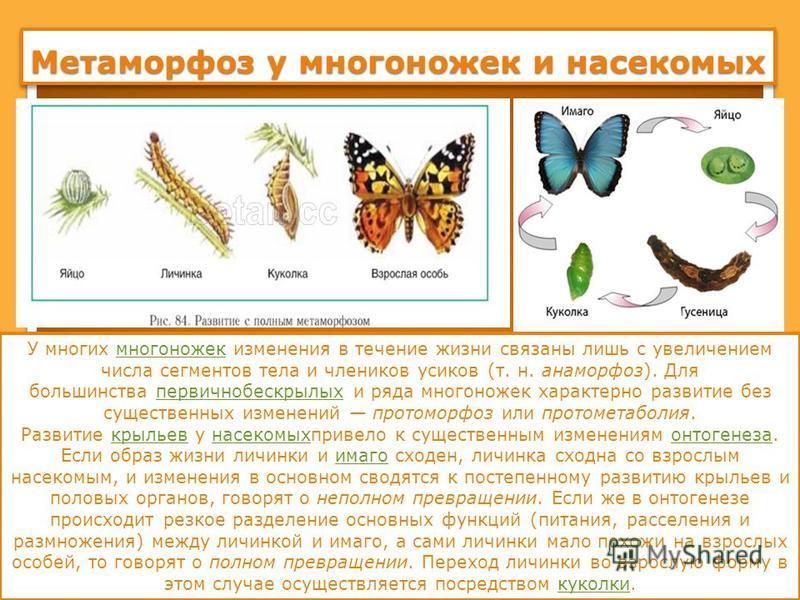 Метаморфоз у многоножек и насекомых У многих многоножек изменения в течение жизни связаны лишь с увеличением числа сегментов тела и члеников усиков (т. н. анаморфоз). Для большинства первичнобескрылых и ряда многоножек характерно развитие без существ