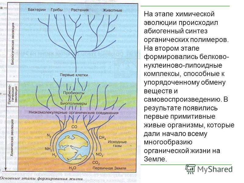 На этапе химической эволюции происходил абиогенный синтез органических полимеров. На втором этапе формировались белково- нуклеиново-липоидные комплексы, способные к упорядоченному обмену веществ и самовоспроизведению. В результате появились первые пр
