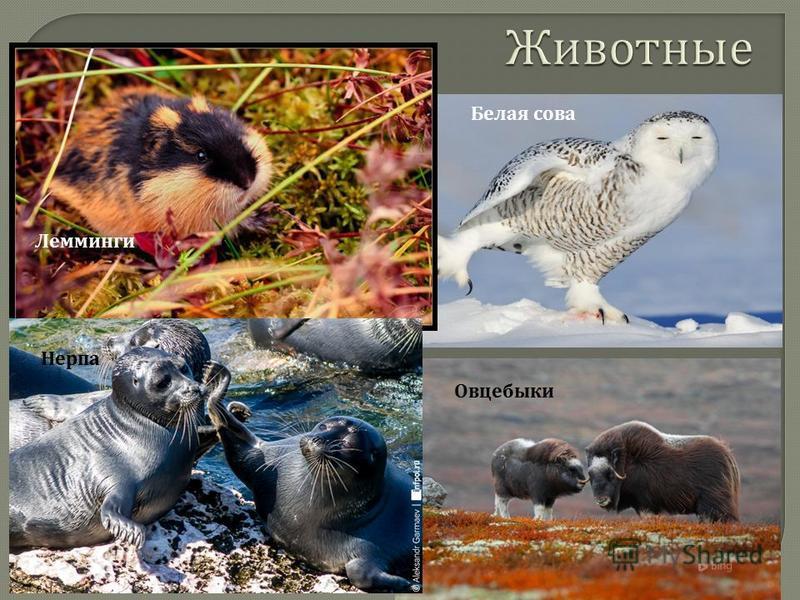 Нерпа Лемминги Овцебыки Белая сова