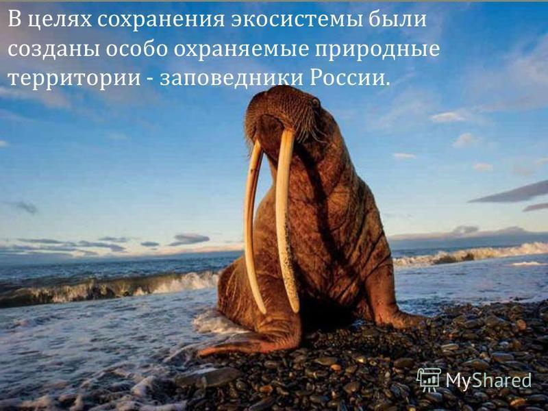 В целях сохранения экосистемы были созданы особо охраняемые природные территории - заповедники России.
