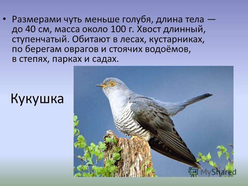 Кукушка Размерами чуть меньше голубя, длина тела до 40 см, масса около 100 г. Хвост длинный, ступенчатый. Обитают в лесах, кустарниках, по берегам оврагов и стоячих водоёмов, в степях, парках и садах.