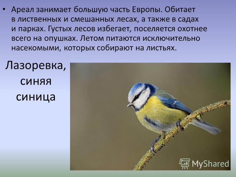 Лазоревка, синяя синица Ареал занимает большую часть Европы. Обитает в лиственных и смешанных лесах, а также в садах и парках. Густых лесов избегает, поселяется охотнее всего на опушках. Летом питаются исключительно насекомыми, которых собирают на ли