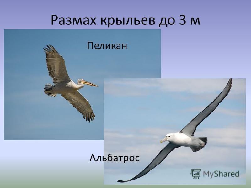Размах крыльев до 3 м Пеликан Альбатрос