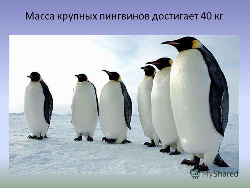 Масса крупных пингвинов достигает 40 кг