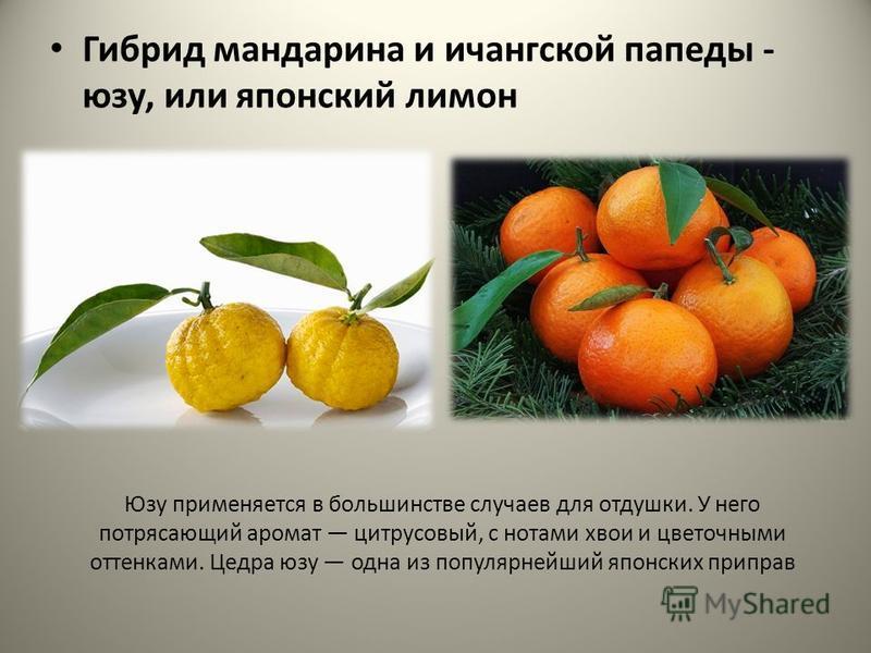 Юзу применяется в большинстве случаев для отдушки. У него потрясающий аромат цитрусовый, с нотами хвои и цветочными оттенками. Цедра юзу одна из популярнейший японских приправ Гибрид мандарина и ичангской папеды - юзу, или японский лимон