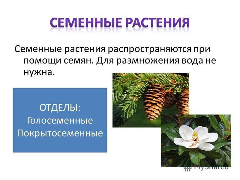 Семенные растения распространяются при помощи семян. Для размножения вода не нужна. ОТДЕЛЫ: Голосеменные Покрытосеменные