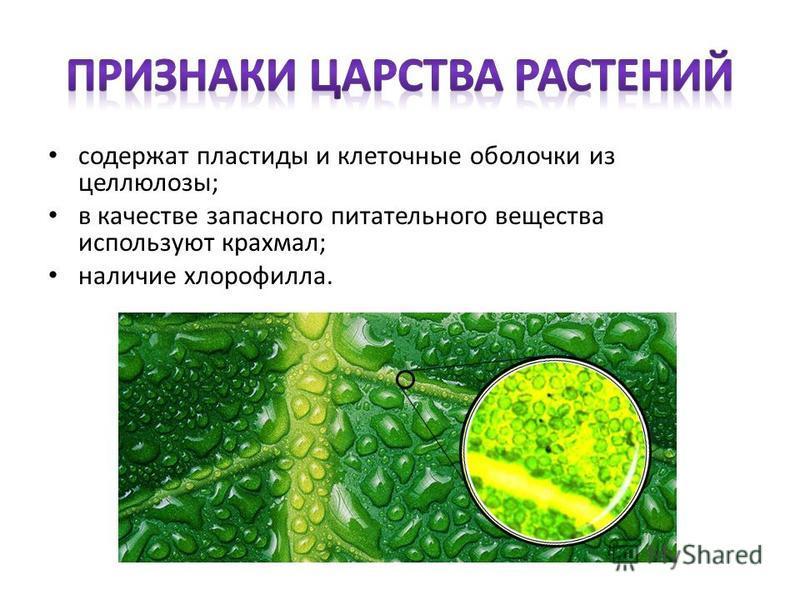 содержат пластиды и клеточные оболочки из целлюлозы; в качестве запасного питательного вещества используют крахмал; наличие хлорофилла.