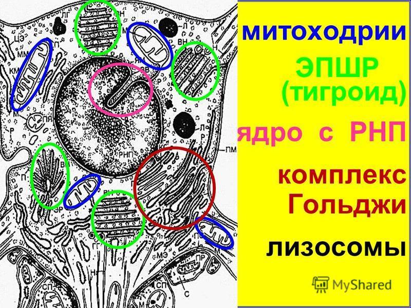 митохондрии Э ЭПШР (тигроид) ядро с РНП комплекс Гольджи лизосомы