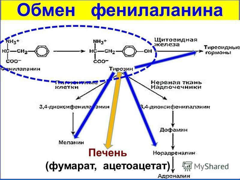 Обмен фенилаланина Печень (фумарат, ацетоацетат)