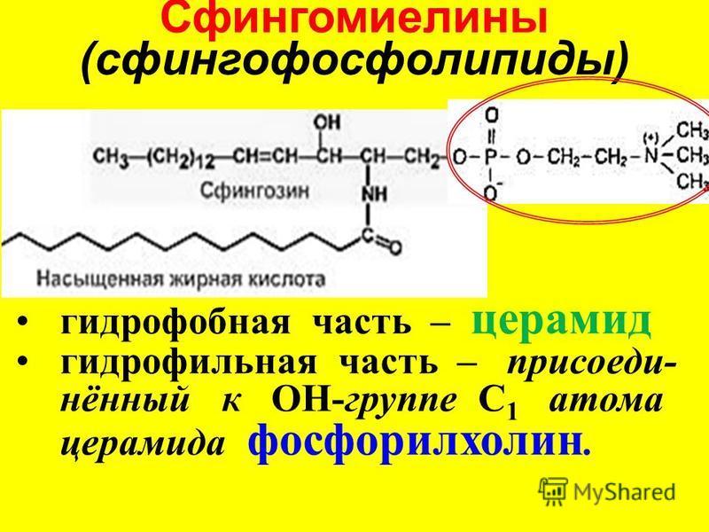 гидрофобная часть – церамид гидрофильная часть – присоеди- нённый к ОН-группе С 1 атома церамида фосфорилхолин. Сфингомиелины (сфингофосфолипиды)