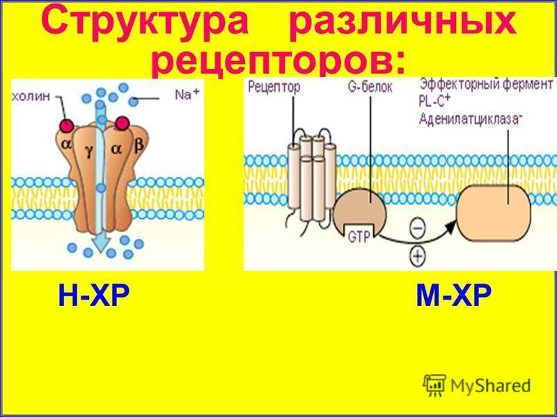 Структура различных рецепторов: Н-ХР М-ХР
