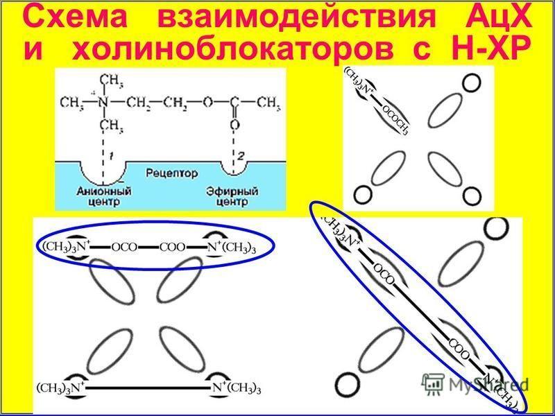 Схема взаимодействия АцХ и холинаблокаторов с Н-ХР