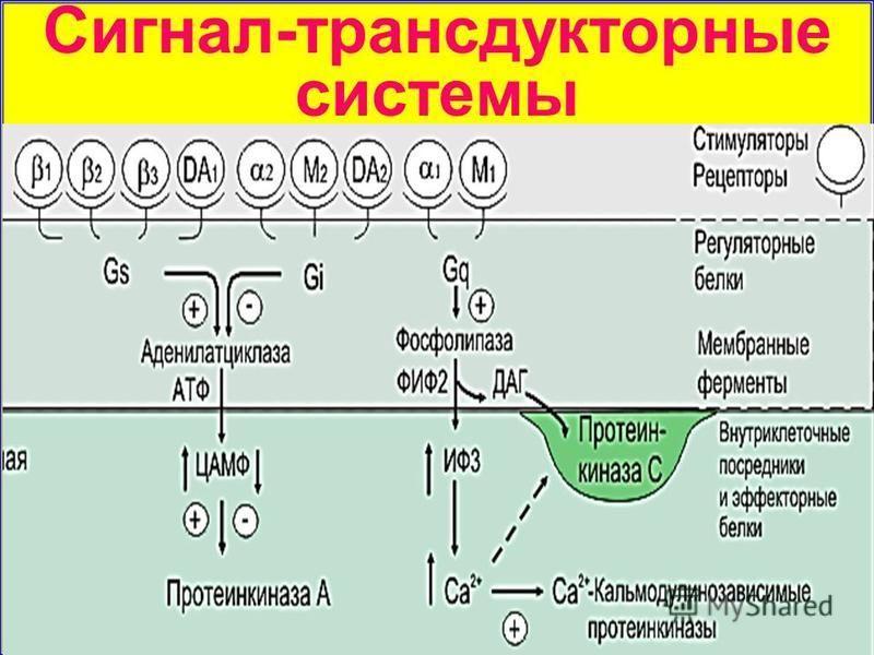 Сигнал-трансдукторные системы