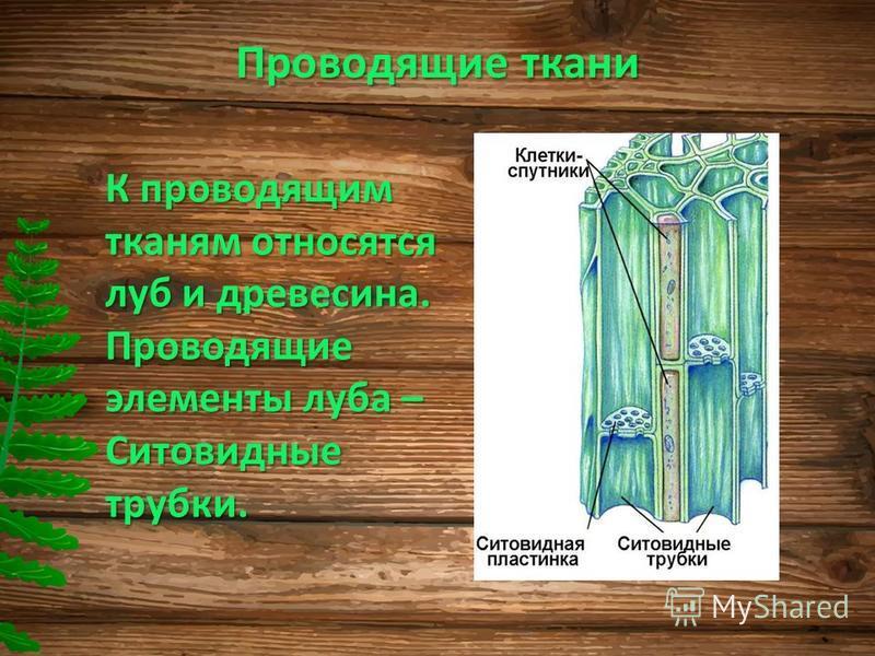 Проводящие ткани К проводящим тканям относятся луб и древесина. Проводящие элементы луба – Ситовидные трубки.