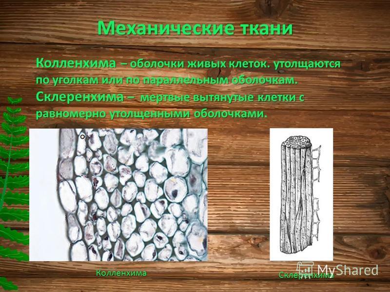 Механические ткани Колленхима – оболочки живых клеток. утолщаются по уголкам или по параллельным оболочкам. Склеренхима – мертвые вытянутые клетки с равномерно утолщенными оболочками Склеренхима – мертвые вытянутые клетки с равномерно утолщенными обо