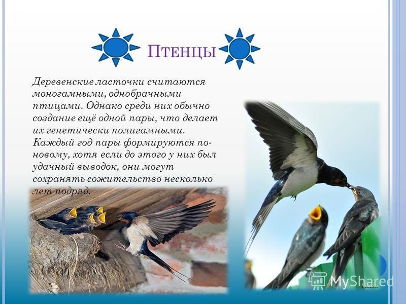П ТЕНЦЫ Деревенские ласточки считаются моногамными, однобрачными птицами. Однако среди них обычно создание ещё одной пары, что делает их генетически полигамными. Каждый год пары формируются по- новому, хотя если до этого у них был удачный выводок, он