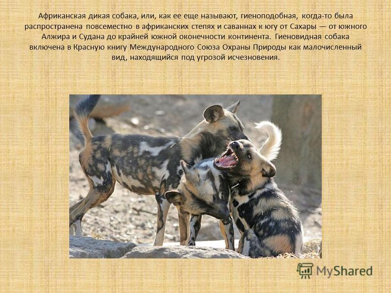 Африканская дикая собака, или, как ее еще называют, гиеноподобная, когда-то была распространена повсеместно в африканских степях и саваннах к югу от Сахары от южного Алжира и Судана до крайней южной оконечности континента. Гиеновидная собака включена