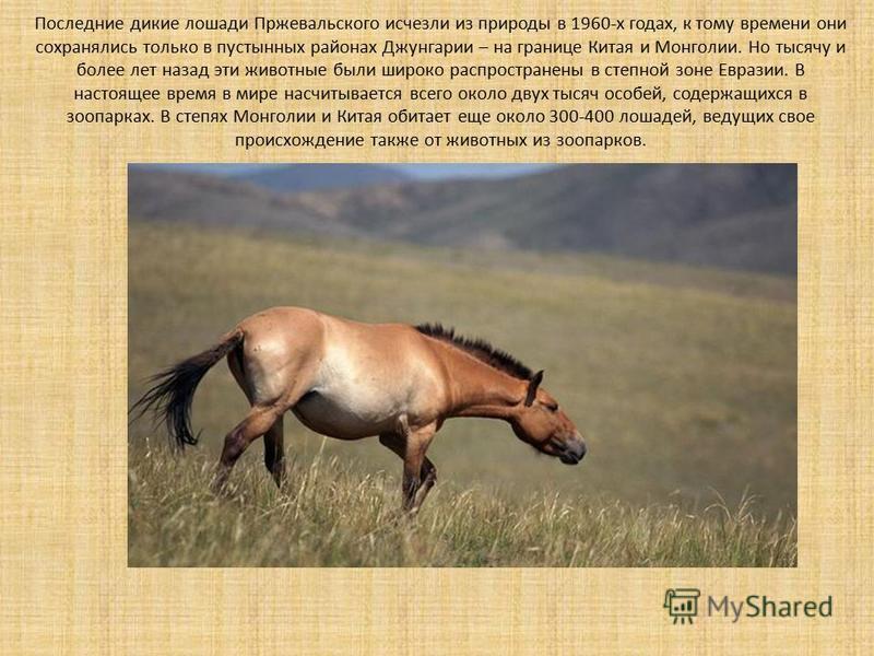 Последние дикие лошади Пржевальского исчезли из природы в 1960-х годах, к тому времени они сохранялись только в пустынных районах Джунгарии – на границе Китая и Монголии. Но тысячу и более лет назад эти животные были широко распространены в степной з