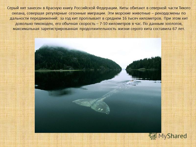 Серый кит занесен в Красную книгу Российской Федерации. Киты обитают в северной части Тихого океана, совершая регулярные сезонные миграции. Эти морские животные – рекордсмены по дальности передвижений: за год кит проплывает в среднем 16 тысяч километ