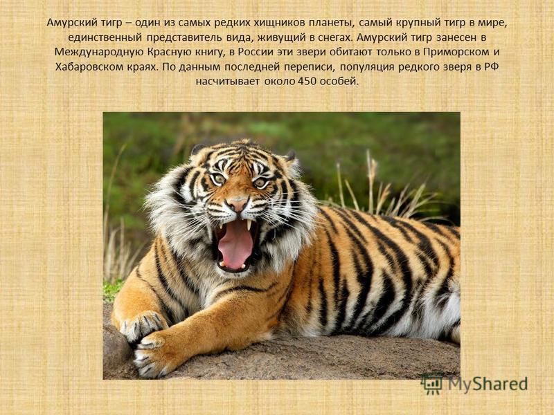Амурский тигр – один из самых редких хищников планеты, самый крупный тигр в мире, единственный представитель вида, живущий в снегах. Амурский тигр занесен в Международную Красную книгу, в России эти звери обитают только в Приморском и Хабаровском кра