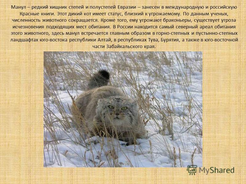 Манул – редкий хищник степей и полу степей Евразии – занесен в международную и российскую Красные книги. Этот дикий кот имеет статус, близкий к угрожаемому. По данным ученых, численность животного сокращается. Кроме того, ему угрожают браконьеры, сущ