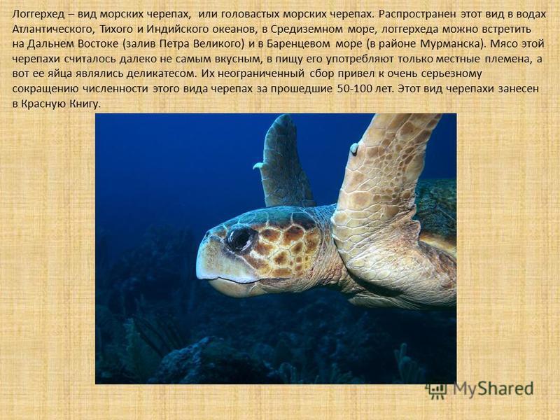 Логгерхед – вид морских черепах, или головастых морских черепах. Распространен этот вид в водах Атлантического, Тихого и Индийского океанов, в Средиземном море, логгерхеда можно встретить на Дальнем Востоке (залив Петра Великого) и в Баренцевом море