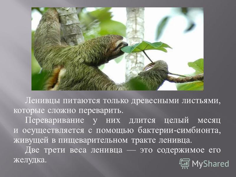 Ленивцы питаются только древесными листьями, которые сложно переварить. Переваривание у них длится целый месяц и осуществляется с помощью бактерии - симбионта, живущей в пищеварительном тракте ленивца. Две трети веса ленивца это содержимое его желудк