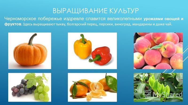 ВЫРАЩИВАНИЕ КУЛЬТУР Черноморское побережье издревле славится великолепными урожаями овощей и фруктов. Здесь выращивают тыкву, болгарский перец, персики, виноград, мандарины и даже чай.