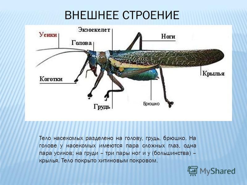 ВНЕШНЕЕ СТРОЕНИЕ Тело насекомых разделено на голову, грудь, брюшко. На голове у насекомых имеются пара сложных глаз, одна пара усиков; на груди – три пары ног и у (большинства) – крылья. Тело покрыто хитиновым покровом.