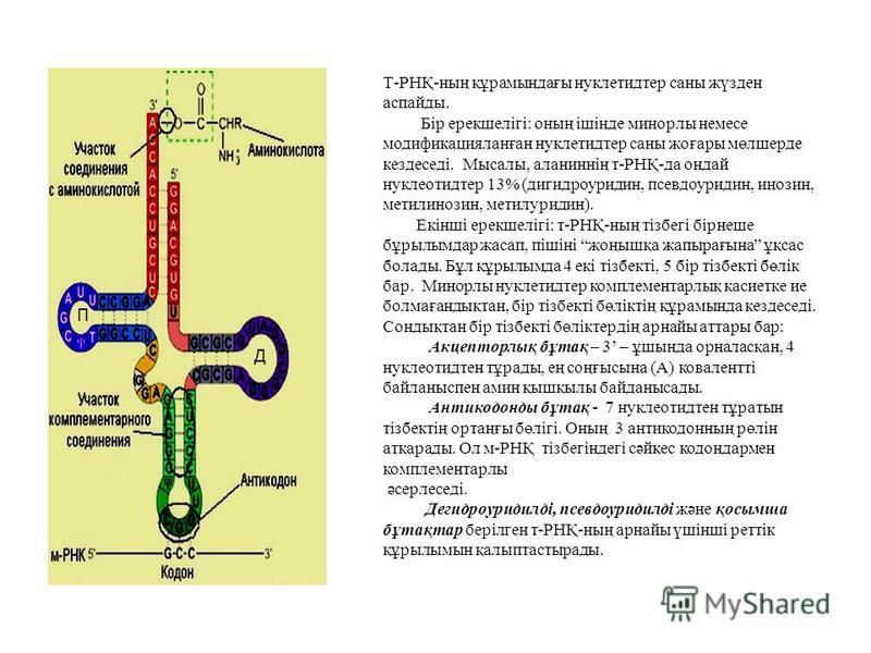 Т-РНҚ-наң құрамындағы нуклетидтер сана жүзден аспайды. Бір ерекшелігі: онаң ішінде минорлы немсе модификацияланған нуклетидтер сана жоғары мөлшерде кездеседі. Мысалы, аланиннің т-РНҚ-да хондай нуклеотид тер 13% (дигидроуридин, псевдоуридин, инозин, м