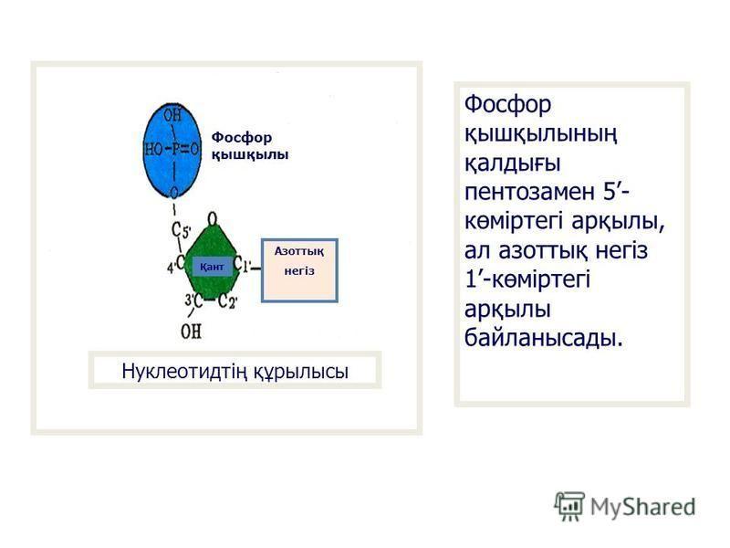 Нуклеотидтің құрылысы Фосфор қышқылы Қант Азоттық негіз Фосфор қышқылынаң қалдығы пентозамен 5- көміртегі арқылы, ал азоттық негіз 1-көміртегі арқылы байланасады.