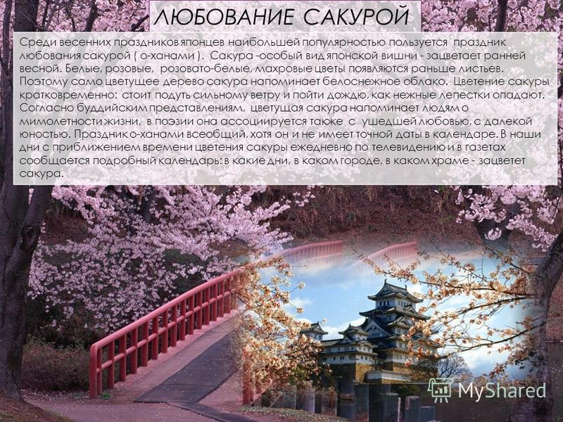 ЛЮБОВАНИЕ САКУРОЙ Среди весенних праздников японцев наибольшей популярностью пользуется праздник любования сакурой ( о-ханами ). Сакура -особый вид японской вишни - зацветает ранней весной. Белые, розовые, розовато-белые, махровые цветы появляются ра
