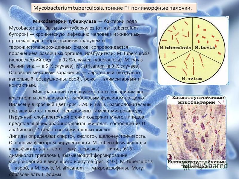 Mycobacterium tuberculosis, тонкие Г+ полиморфные палочки. Микобактерии туберкулеза бактерии рода Mycobacterium. Вызывают туберкулез (от лат. tuberculum бугорок) хроническую инфекцию человека и животных, протекающую с образованием гранулем и творожис