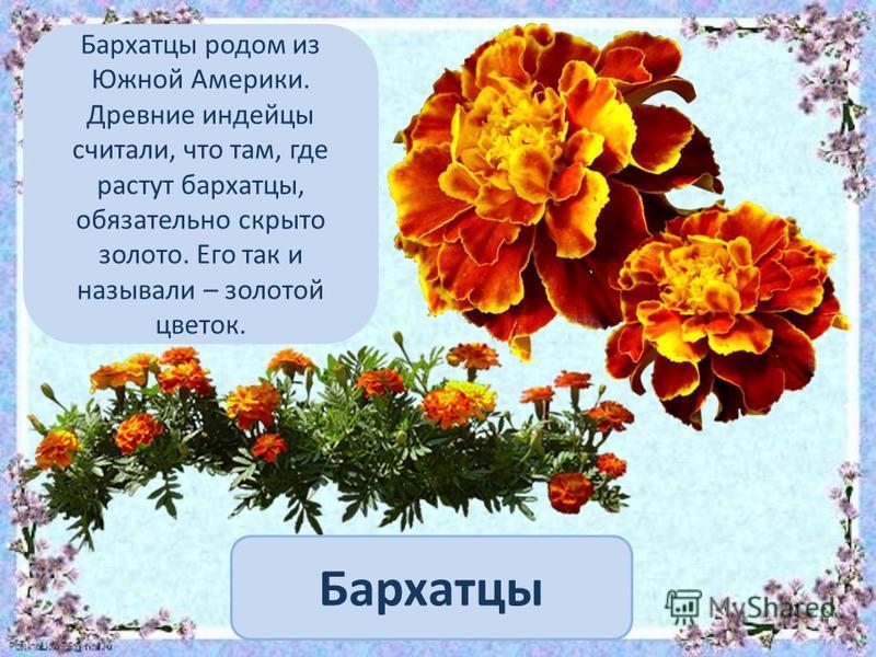 Бархатцы Бархатцы родом из Южной Америки. Древние индейцы считали, что там, где растут бархатцы, обязательно скрыто золото. Его так и называли – золотой цветок.
