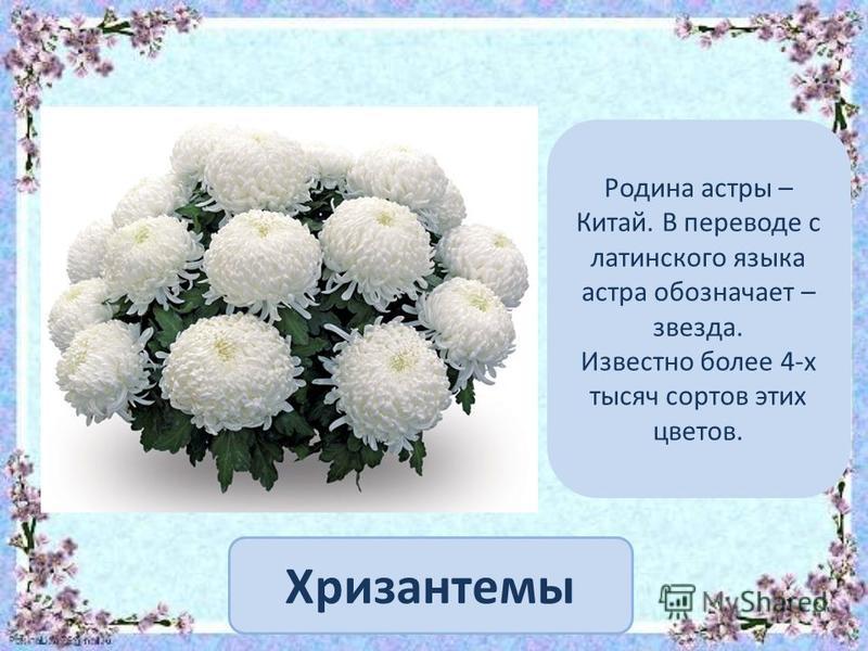 Хризантемы Родина астры – Китай. В переводе с латинского языка астра обозначает – звезда. Известно более 4-х тысяч сортов этих цветов.