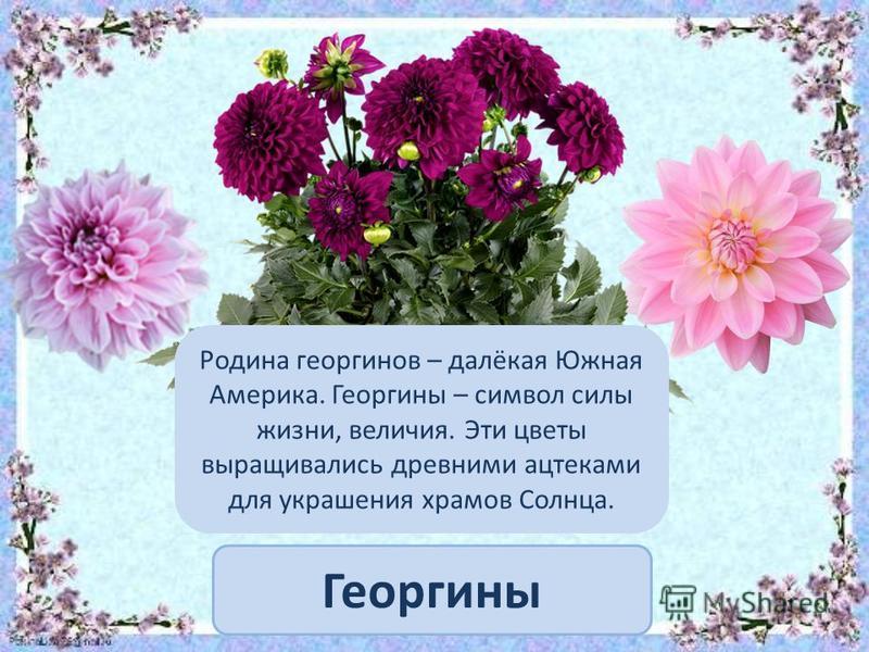 Георгины Родина георгинов – далёкая Южная Америка. Георгины – символ силы жизни, величия. Эти цветы выращивались древними ацтеками для украшения храмов Солнца.
