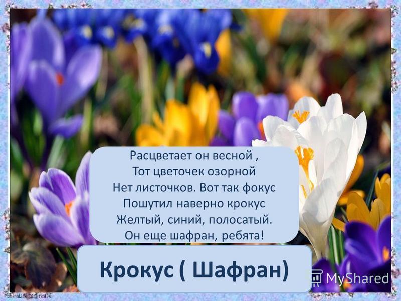 Крокус ( Шафран) Расцветает он весной, Тот цветочек озорной Нет листочков. Вот так фокус Пошутил наверно крокус Желтый, синий, полосатый. Он еще шафран, ребята!