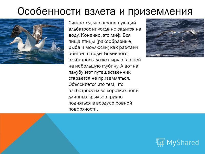 Особенности взлета и приземления Считается, что странствующий альбатрос никогда не садится на воду. Конечно, это миф. Вся пища птицы (ракообразные, рыба и моллюски) как раз-таки обитает в воде. Более того, альбатросы даже ныряют за ней на небольшую г