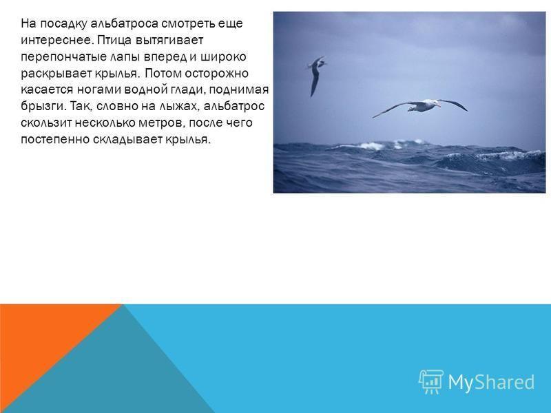 На посадку альбатроса смотреть еще интереснее. Птица вытягивает перепончатые лапы вперед и широко раскрывает крылья. Потом осторожно касается ногами водной глади, поднимая брызги. Так, словно на лыжах, альбатрос скользит несколько метров, после чего
