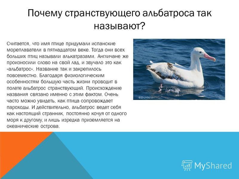 Почему странствующего альбатроса так называют? Считается, что имя птице придумали испанские мореплаватели в пятнадцатом веке. Тогда они всех больших птиц называли алькатрасами. Англичане же произносили слово на свой лад, и звучало это как «альбатрос»